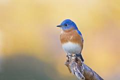bluebird golden bokah ( explore ) (G_Anderson) Tags: bluebird missouri yard birding bokah