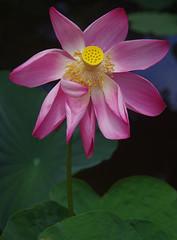 Nelumbo nucifera, Anderson Park, Townsville, QLD, 14/12/18 (Russell Cumming) Tags: plant nelumbo nelumbonucifera nelumbonaceae