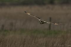 Short Eared Owl-2604 (WendyCoops224) Tags: 100400mml 80d fens winterwatch canon eos ©wendycooper short eared owl asio flammeus
