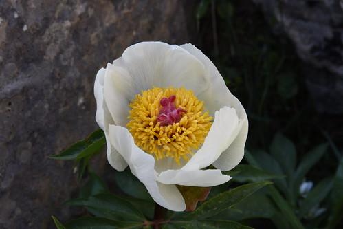 Paeonia clusii subsp. clusii