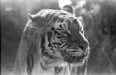Franklin Park_20181229_007 (falconn67) Tags: tiger bigcat cat endangered rescue franklinparkzoo franklinpark boston zoo stripes canon elan7ne film 35mm 70200mmf28 analog