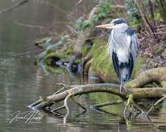 Heron (hussey411) Tags: amateur photographer photography bird heron