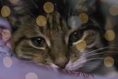 Tigs (colour) (eflt63) Tags: cute photography home bokeh colour photo uk cat eyes