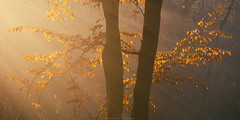 Autumn Leaves (Davide Perego) Tags: sonya6000 sony2870 sonyalpha captureone montevecchia brianza autumn tree leaves mist nature landscape