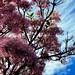 Chionanthus pubescens