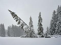 TOO MUCH - Heavy Snow - Winter in Bavaria (W_von_S) Tags: snow schnee winter trees bäume bavaria bayern reitimwinkl snowlandscape snowscape snowshoehike schneelandschaft schneeschuhwanderung snowdrift schneetreiben natur nature wvons werner sony sonyilce7rm2 outdoor februar february 2019 landschaft landscape paesaggio paysage berge mountains alpen alps wald wood forest