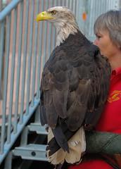 sehr großer Vogel (wpt1967) Tags: adler eos1100d greifvogelstationhellenthal hellenthal kraft photokina vogel bird eagle grosservogel wpt1967