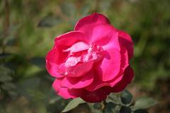 IMG_7632 (arif.bsl14) Tags: flower flowers rose roseflower blooming bud bloom natural nature macro closup