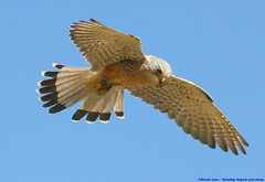 Up Above The Streets And Houses....... (law_keven) Tags: kestrel birds raptors england feathers suffolk photography wildlifephotography wildlife featheryfriday feathery flight sky bird