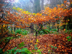 Autumn Sapling (Missy Jussy) Tags: iphone autumn colourful sapling trees lancashire leaves branch forest woodland fall seasonal outdoor outside piethornevalley valley rochdale northwest england fog light fern dogwalk