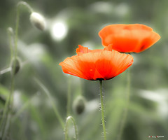 Amapolas en un campo de trigo (Jabi Artaraz) Tags: amapolas mitxoleta gorria rojo nature