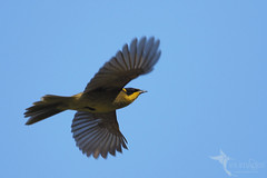 Yellow-tufted Honeyeater (VS Images) Tags: yellowtuftedhoneyeater meliphagidae honeyeaters lichenostomusmelanops birds bird birding bif birdsinflight flight wildlife wildlifephotography feathers animals avian australianbirds australianwildlife australia nsw nature ngc naturephotography vsimages vassmilevski olympus olympusau olympusinspired getolympus m43 omd
