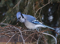 IMG_0535 Geai bleu, Roberval (joro5072) Tags: animal nature oiseau bird jay geai