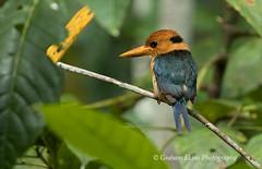 Male, Yellow-billed Kingfisher,   Syma torotoro, (Graham Ekins) Tags: male yellowbilledkingfisher symatorotoro waigeoisland westpapua indonesia grahamekins canon1dxii canon300mmf28ii 6968 6953