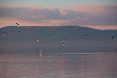 Anguillara Sabazia (OrnellaParisi) Tags: anguillarasabazia anguillara lake lagodibracciano braccianolake canon60d ornellaparisiphotography ornellaparisi sunset seagulls