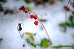 (kuuan) Tags: manualfocus takumar smctakumar50mmf14 50mm f14 5014 1450 f1450mm smc sonya7 ilce7 mostviertel natur nature snow schnee garten garden austria macro helicoidadapter plant red berry ice drop