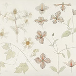 Study sheet with Sea Thistle, Hop and Clematis (1899) by Julie de Graag (1877-1924). Original from the Rijks Museum. Digitally enhanced by rawpixel. thumbnail