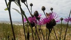 Summer in Saulkrasti (andris_emils) Tags: summer beach saulkrasti flowers butterfly latvia vidzeme vidzemesjūrmala