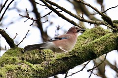 Jay (Baz2016) Tags: woodlands outside branches moss tree woods birds bluejay