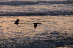 Flying low (Irina1010) Tags: birds flying lowflight ocean water reflections nature canon coth coth5