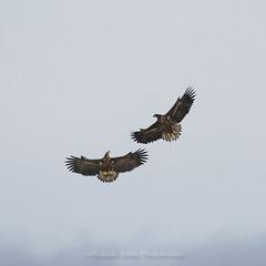 Danse dans les airs  Pygargue à queue blanche (mickeynounet) Tags: marquenterre pygargue oiseauxdeproie observation photographienature wildlife baiedesomme