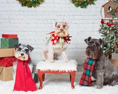 Merry Christmas (Cheryl3001) Tags: schnauzer dog pup christmas merry canon 5d mark iii 50mm f14