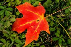 Fall Leaf 3-0 F LR 11-1-18 J140 (sunspotimages) Tags: autumn fall leaf leaves autumnleaf autumnleaves fallleaf fallleaves nature orange orangeleaf orangeleaves