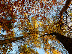 The leaves on the trees (Captain192) Tags: trees leaves autumn fall sky outwoods theoutwoods woods turning red yellow gold blue bluesky trunks colour colours color colors