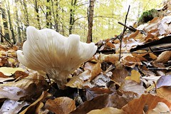 Hallucinogène (Un jour en France) Tags: forêt champignon automne hautsdefrance leshautsdefrance feuille canoneos6dmarkii canonef1635mmf28liiusm hallucinogène