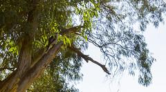 Gawler Kookaburra (|Sarah|) Tags: adelaide animal australia canon1200d gawler kookaburra laughingkookaburra naturalhabitat nature photography southaustralia wilderness wildlife