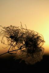 WILD CLEMATIS (beatawozniak1968) Tags: inspiration sunset seeds stilllife nature naturephotography backlit bokeh closeup macro wildclematis gold bronze photography light flora