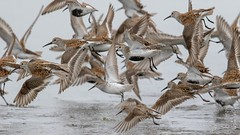 Dunlin (Calidris alpina) (Tony Varela Photography) Tags: photographertonyvarela shorebird dunlin canon dunlinflight calidrisalpina dunl