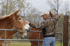 Ray Coleman walks around his brother in-law's farm, checking the mules they ride in parades. He pets two on the head as they approach him near the gate.