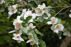 Mock Orange (Philadelphus) (Seventh Heaven Photography **) Tags: 130th shrewsbury flower show shropshire nikon d3200 flowers blooms flora mock orange philadelphus white