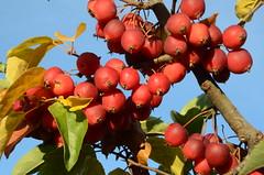 Pollinisateurs (RarOiseau) Tags: alpesdehauteprovence mison pomme rouge arbre automne arboriculture saariysqualitypictures v1500