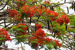 Royal Poinciana Tree (Delonix regia) (Seventh Heaven Photography - (Flora)) Tags: royal poinciana tree delonix regia orange flowers flora blooms nikon d3200