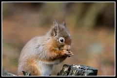 IMG_0233 Red Squirrel (Scotchjohnnie) Tags: redsquirrel sciurusvulgaris squirrel squirrelphotography mammal rodent wildanimal wildlife wildlifephotography wildandfree nature naturephotography canon canoneos canon7dmkii canonef70200mmf28lisiiusm scotchjohnnie closeup portrait