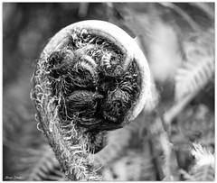 New Tree Fern Leaf (Bear Dale) Tags: ulladulla southcoast new south wales shoalhaven australia beardale lakeconjola fotoworx milton nsw nikond850 photography framed nikon d850 tree fern leaf beginning unfurl nikkor afs 50mm f14g