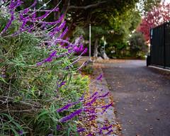 Spring feelings in Autumn (alessio.vallero) Tags: willardpark park usa outdoors nature flowers california berkeley