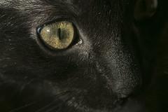 eye (Pioppo67) Tags: canon 80d sigma105mm eye occhio cat gatto macromondays vowel