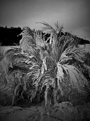 Finster & Ginster (Maquarius) Tags: winter ginster schnee fränkische schweiz oberfranken franken bewölkt düster natur landschaft