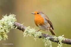 Robin D85_6781.jpg (Mobile Lynn) Tags: nature chatsrelatives birds robin bird fauna oscines passeri passeriformes songbird songbirds wildlife coth specanimal coth5 ngc npc