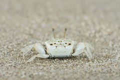 white sandy baby crab (elmanther123) Tags: crab animal claws shell life alive beach sandy biology ecology marine wild wildlife aquatic sealife seafood food raw isolated one ocean nipper pincer natural scenic defend alert attact outdoor