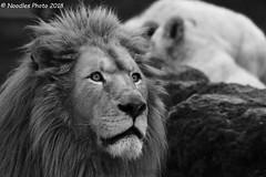 observant - aufmerksam (Noodles Photo) Tags: afrikaanseleeuw afrikanischerlöwe africanlion pantheraleo weiselöwen whitelions carnivora feloidea felidae pantherinae panthera bigcat groskatze raubtier cat katze mammalia säugetier canoneos7dmarkii transvaallöwe pantheraleokrugeri tamronsp150600mmf563divcusdg2 mondoverde familieparkmondoverde landgraaf niederlande netherlands