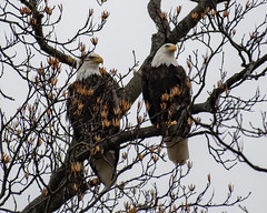 850_2095-5 (TomPitta) Tags: american bald eagles