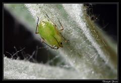 Myzus ascalonicus (cquintin) Tags: arthropoda aphididae homoptera myzus ascalonicus