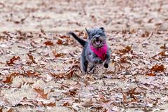 Allie in a field (uofmtiger) Tags: mutt muttingrass canine dog