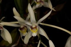 Dendrobium triflorum (syn Epigeneium triflorum) 2018-10-05 01 (JVinOZ) Tags: orchidspecies orchid dendrobium epigeneium