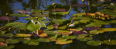 Lilly Pads 2 (dennis.laman) Tags: lillypads lake florida telephoto