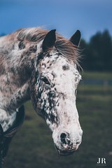 Spotted friend. 🐴 (jessica.rose93) Tags: appaloosa spots pretty colour uk horses love amateur photography beautiful cute bokeh portrait canon 85mm 85mmlens canon7dmarkii winter scotland pony horse